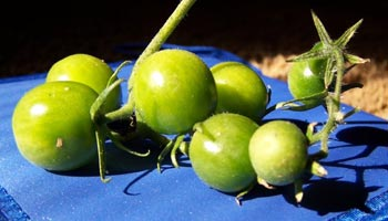 Sind grüne Tomaten giftig