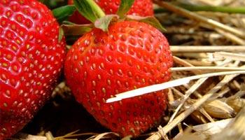 Sind Erdbeeren gesund