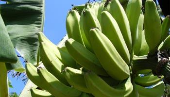 Wieviel Kalorien haben Bananen