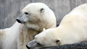 Wo leben Eisbären