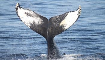 Wo leben Wale