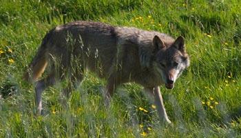 Wo leben Wölfe