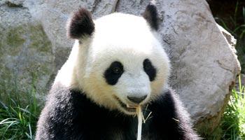 Wo lebt der Pandabär heute noch in freier Natur